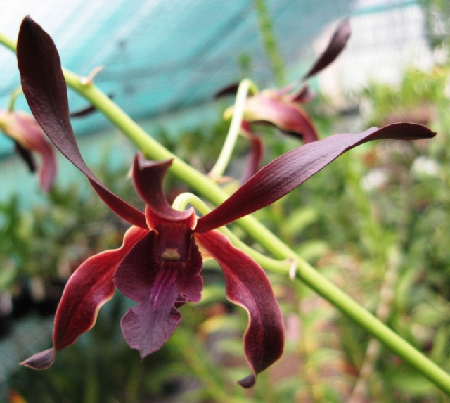 Dendrobium Red Toro